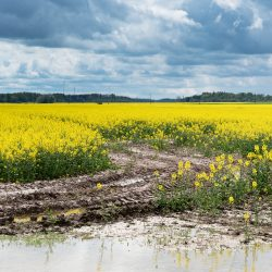 Puddle on canola field in rainy day.